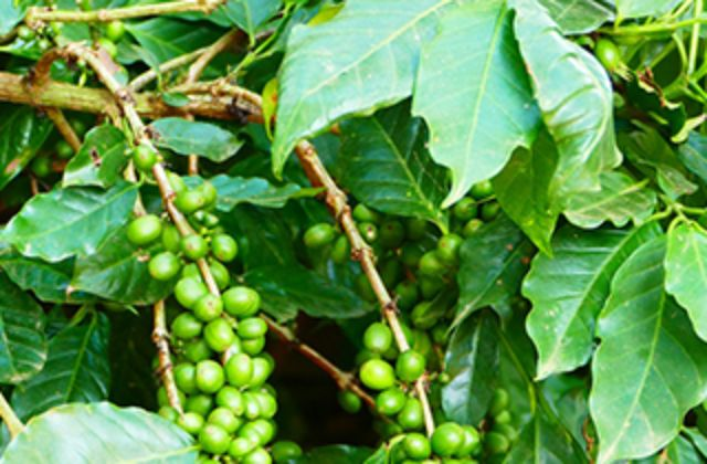 Coffea Arabica (koffieplant)